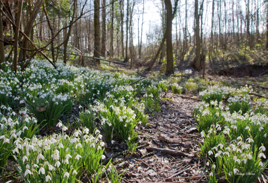 picture of snowdrops at Roccoco Gardens, Cotswolds