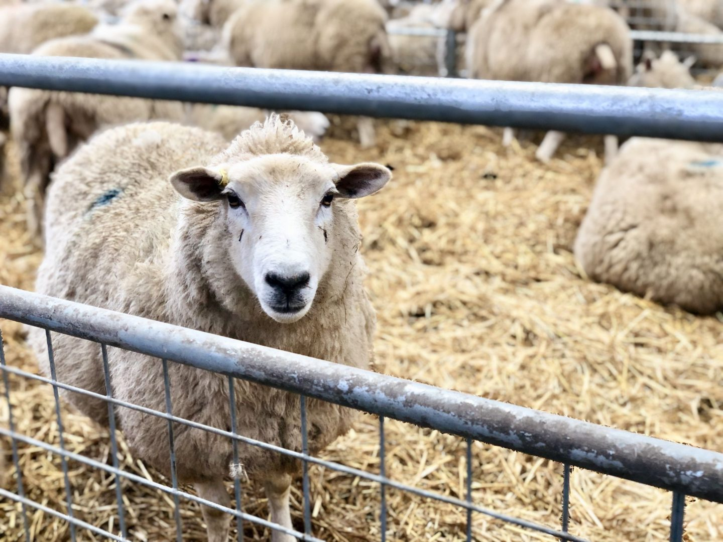 Lambing in The Cotswolds