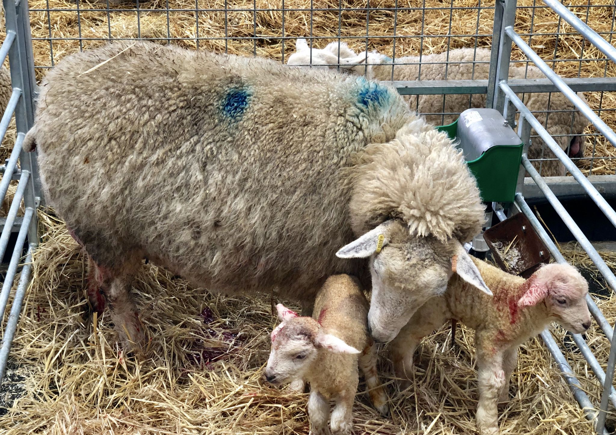Newly born twin lambs at Cotswold Farm Park - Cotswold Baby Co